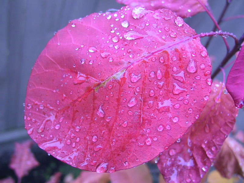 800px-Rain on a smoke tree leaf